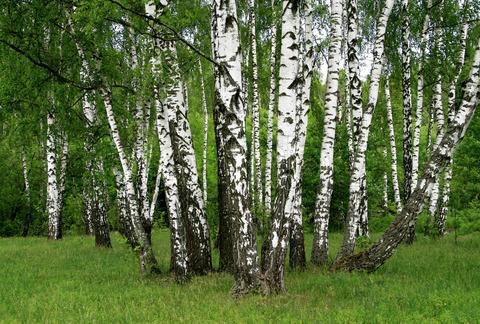 breza drvo breza ljekovito bilje