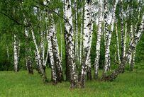 [Slika: 41351770_breza-drvo.breza-ljekovito-bilje.jpg]